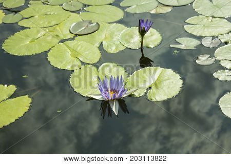 A blue lily and a green leaf in a pond. Water lily, water lily.