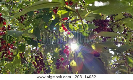 Branches of bird cherry with berries and sunlight