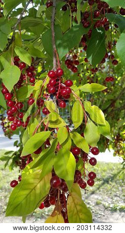 Branches of bird cherry with bright berries