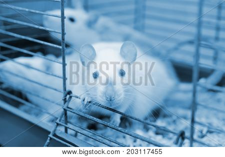 Laboratory rat looking out of a cage shallow DOF with selective focus on the rat eyes (in blue tones)