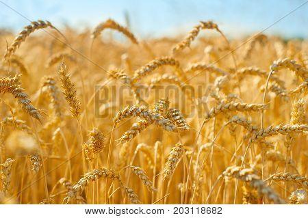 Wheat Field In The Crop