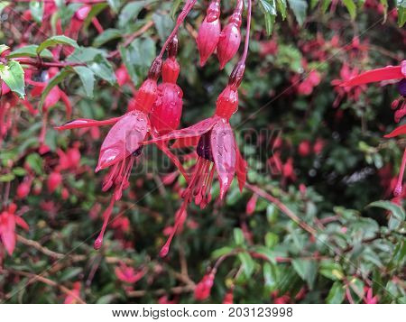 Fuschia Flowers With Raindrops Blooming In Ireland