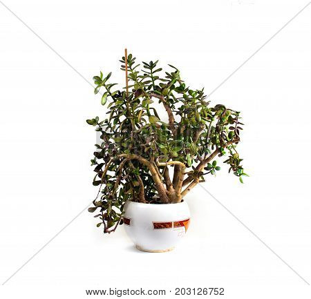 Crassula money tree plant in a pot on a white background isolated