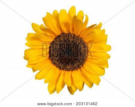 Yellow Sunflower head  isolated on white background