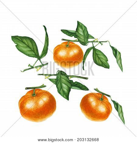 Botanical watercolor illustration of orange tangerine mandarine isolated on white background. Could be used as decoration for web design, healthy market, restaurant menu, cosmetics design, package, textile