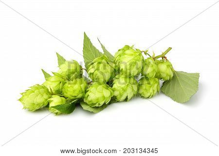 Fresh branches hop with leaves isolated on white background.