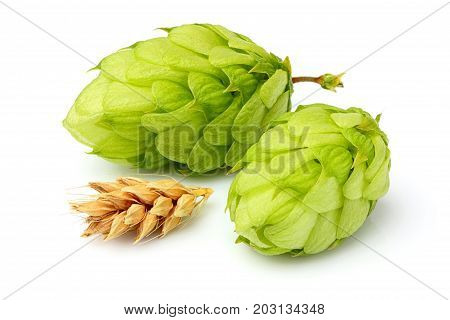 Green hops ears of barley and wheat grain.Isolated closeup on white background.