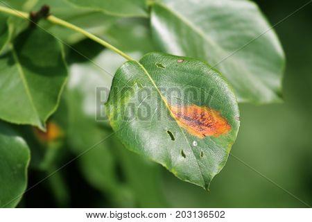 Pear rust (Gymnosporangium sabinae) on green pear leaf