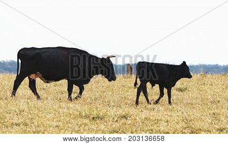 Black Cattle, Cow Following Her Calf On The Pasture Of A Farm