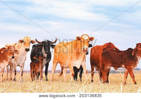 Herd With Cows And Calves On The Pasture Of A Farm