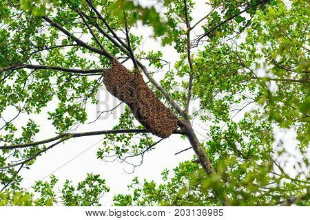 Bee swarm on a tree branch in King Rama IX Park, Bangkok city, Thailand on May 24, 2017