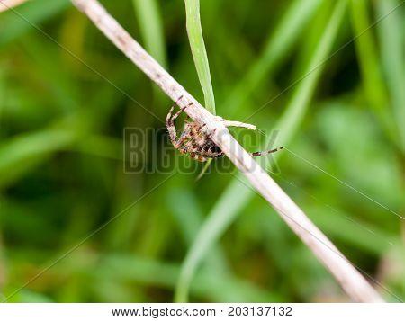 big garden spider outside hanging onto blade of grass Araneus diadematus; Essex; England; UK