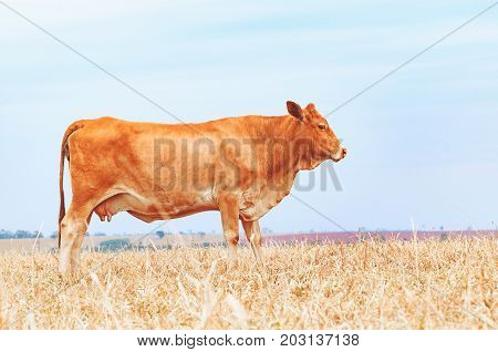 Side View Of A Brown Cow On The Pasture Of A Farm