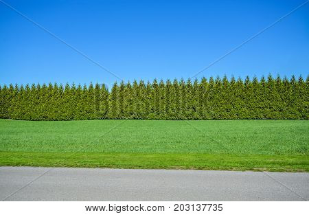 Green long untrimmed hedge on blue sky background with mowed lawn and asphalt road in front