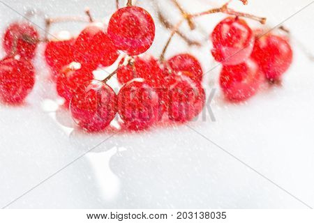 Bunch of vibrant red guelder-rose berries on white background falling snow clean minimalist styled image copy space. Christmas greeting card poster flyer template.