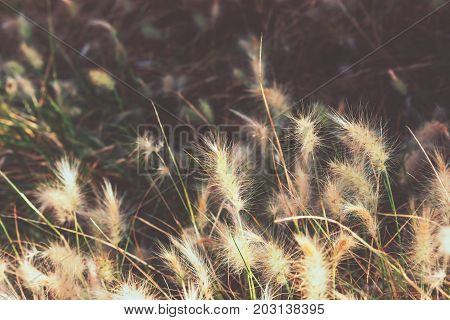 Fluffy dwarf burgundy bunny fountain grass in a park Spain. Wallpaper template inspirational image text ready. Autumn, fall atmosphere