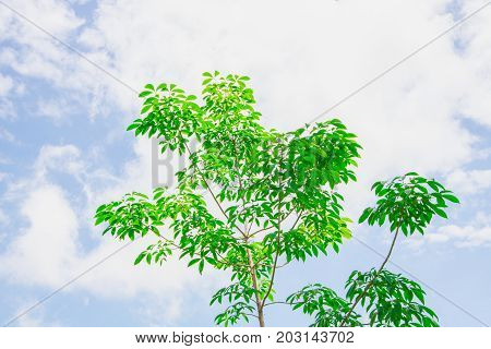 Green rubber tree with sky and clouds as the background.