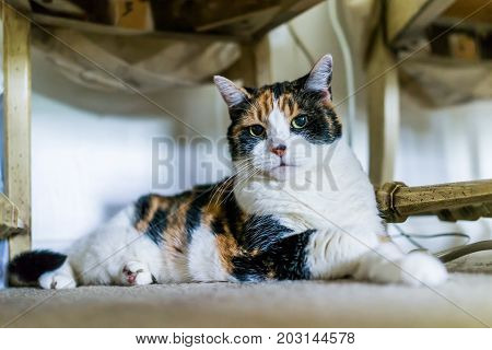 Angry Calico Cat Sitting Under Chair On Carpet Looking Angry At Home Room