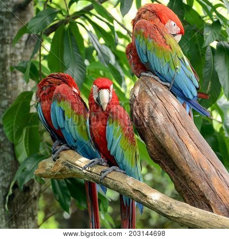 Scarlet Macaw (Ara macao). on natural background.