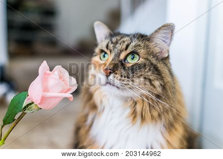 Closeup Portrait Of Curious Calico Maine Coon Cat Smelling Sniffing Pink Rose Flower