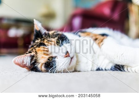 Closeup Of Calico Cat Face Looking Sad Lying Down On Carpet Sleepy In Home Living Room