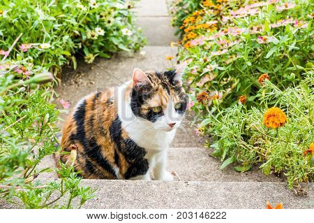 Closeup Portrait Of Sad Calico Cat Face Outside By Orange Marigold Flowers In Summer Garden On Porch