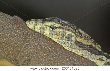 iguana close up at day