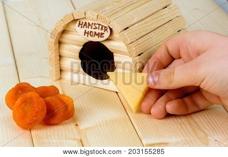 The girl beckons the hamster with a piece of cheese from his wooden house.