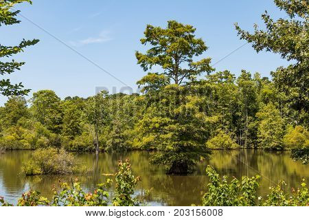 Bald Cypress trees in Stumpy Lake in Virginia Beach, Virginia, a popular destination for kayaking, canoeing and fishing.