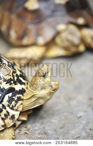 Close up eye Africa spurred tortoise resting in the garden, Slow life ,Africa spurred tortoise sunbathe on ground with his protective shell ,Beautiful African Spurred Tortoise geochelone sulcata