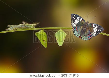 Life cycle of of Common Gaudy Baron butterfly ( Euthalia lubentina ) on twig