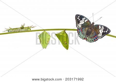 Life Cycle Of Common Gaudy Baron Butterfly ( Euthalia Lubentina ) On White