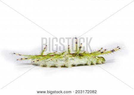 Caterpillar Of The Common Gaudy Baron Butterfly ( Euthalia Lubentina )