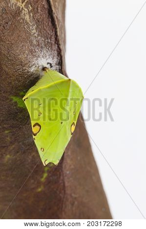 Chrysalis Of The Commom Gaudy Baron Butterfly ( Euthalia Lubentina ) Hanging On Dry Leaf
