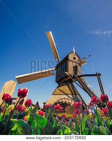 Traditional Dutch windmills from the canal in Rotterdam, deep sky astrophoto. Rows of red tulips in Holland.