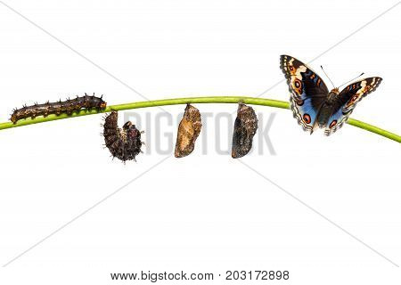 Isolated Life Cycle Of Male Blue Pansy Butterfly ( Junonia Orithya Linnaeus ) On Twig