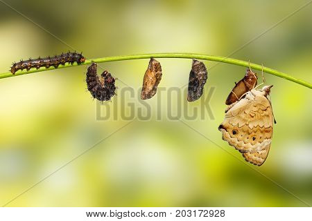 Life Cycle Of Female Blue Pansy Butterfly ( Junonia Orithya Linnaeus ) On Twig