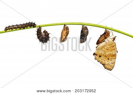Isolated Life Cycle Of Female Blue Pansy Butterfly ( Junonia Orithya Linnaeus ) On Twig