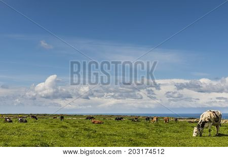 Cornish coast with cows in a meadow with blue sky in the summer.