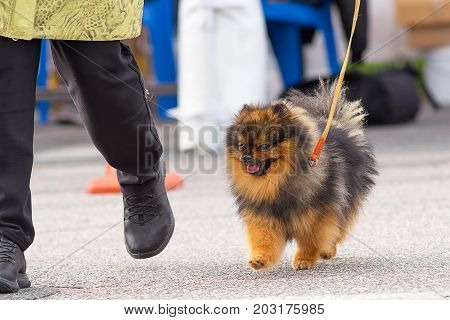 Spitz small dog runs and looks at the owner's shoes. Space under the text. 2018 year of the dog in the eastern calendar Concept: parodist dogs, dog friend of man, true friends, rescuers.