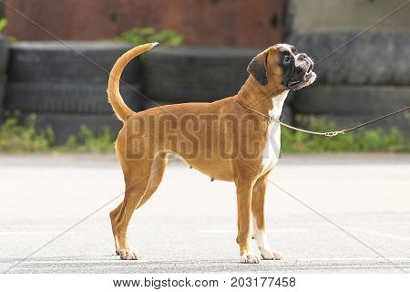 English Bulldog is a short-haired breed of mastiff type dogs. Against the background of a green blurred grass. Space under the text. 2018 year of the dog in the eastern calendar. Concept: parodist dogs, dog friend of man, true friends, rescuers.