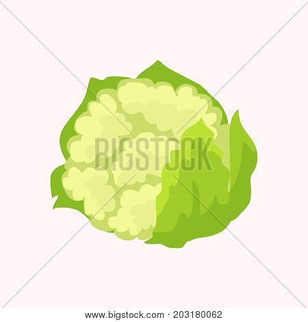 Cauliflower isolated on white background. Vegetables in genus Brassica. Vector illustration of fresh organic plant, healthy green cabbage in flat design cartoon style. Nutritious dieting ingredient