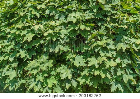 Texture Of Green Foliage, Nature Background Of Leaves. Green Maple Leaves As A Natural Background.