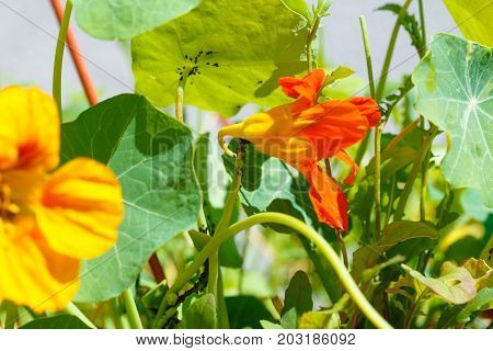 black aphids on blossom. orange nasturtium flower