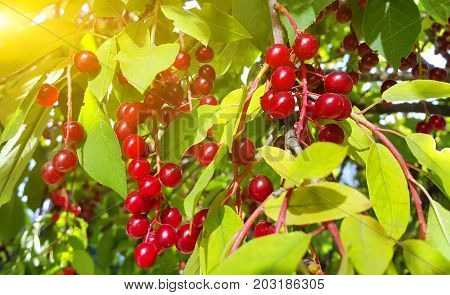 Closeup of bright berries of bird cherry in sunlight