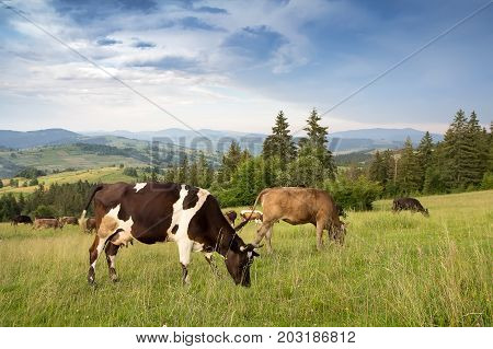 A herd of cows grazing in a grassland in a mountainous area