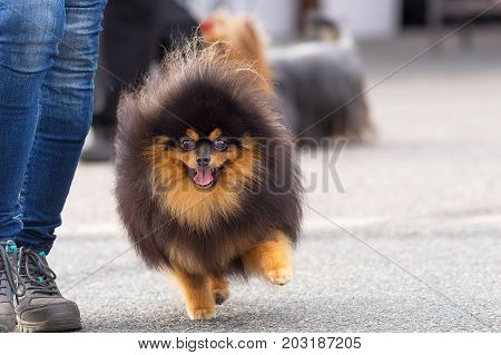 Spitz small shaggy dog with large bulging eyes and an open mouth runs to the camera. Space under the text. 2018 year of the dog in the eastern calendar Concept: parodist dogs, dog friend of man, true friends, rescuers.