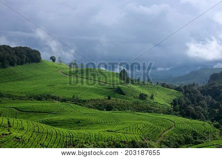 Tea Plantation, Scenic Panoramic View, Bandung, West Java, Indonesia