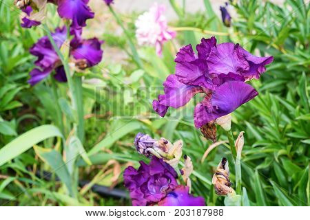 Beautiful magenta and purple iris blossoms in spring