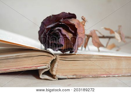faded rose in the pages of old books as a memory of the past